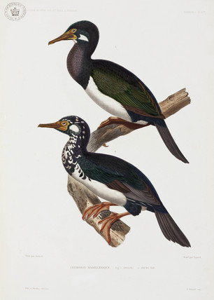 Cormorants, 1837-1840.