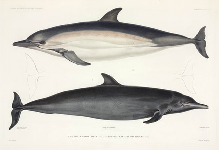 Two types of dolphin, 1837-1840.