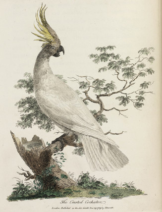 'The Crested Cockatoo', 1789.