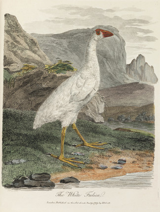 'The White Fulica', 1789.