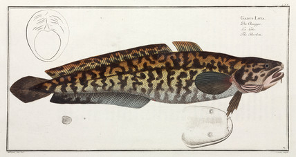 'The Burbot', (freshwater cod), 1785-1788.