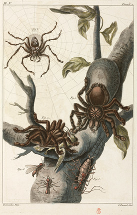 Bird-eating spiders and tarantulas, Surinam, 1775-1781.