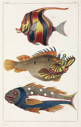 Exotic fish from the Moluccas, 1775-1781.