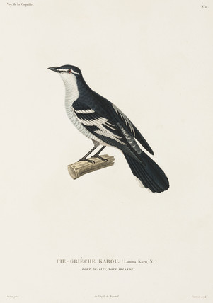 Karou shrike, Port Praslin, New Ireland, (Papua New Guinea),1822-1825.