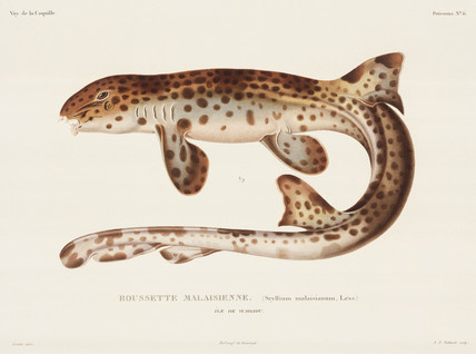 Dogfish, 'Island of Waigiou', (Indonesia), 1822-1825.