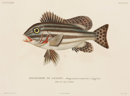 Striped fish, (Indonesia), 1822-1825.
