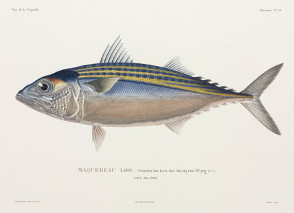 Indian mackerel, New Ireland, 1822-1825.