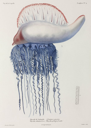 Portuguese man-of-war jellyfish, 1822-1825.
