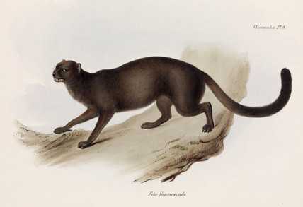 Weasel or otter cat, South America, c 1832-1836.