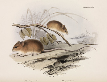 Two types of mouse, c 1832-1836.