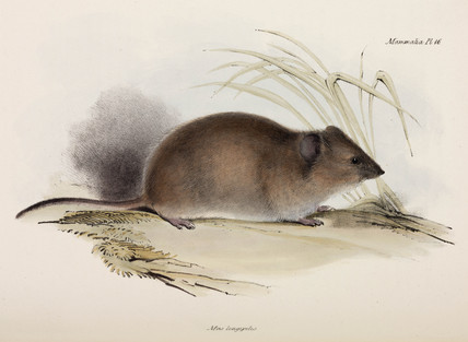 Long-haired or plague rat, Australia, c 1832-1836.