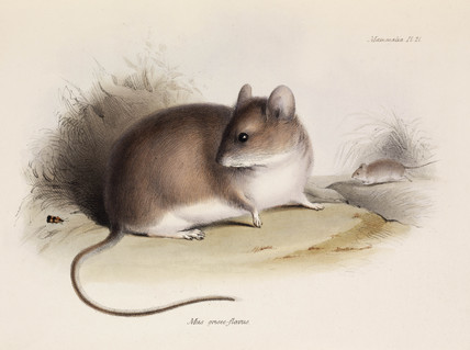 Grey leaf-eared mouse, South America, c 1832-1836.