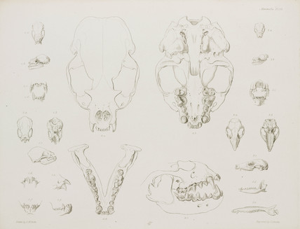 Animal skulls, jaws and teeth,, c 1832-1836.