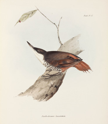 Bird with striped plumage, c 1832-1836.