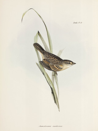 Sparrow or finch, c 1832-1836.