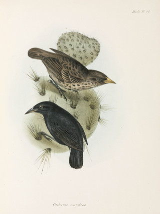 Pair of Cactus Finches, Galapagos Islands, c 1832-1836.