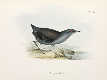 Rail or crake, c 1832-1836.