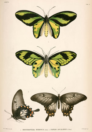Butterflies, Indonesia, 1839-1844.