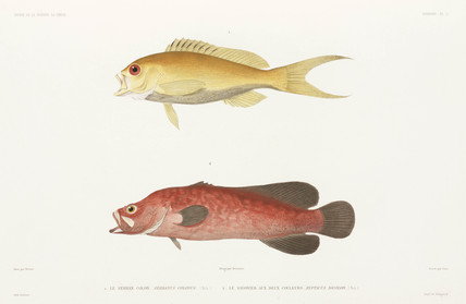 Mottled soapfish and Ruby Anthias, 1836-1839.
