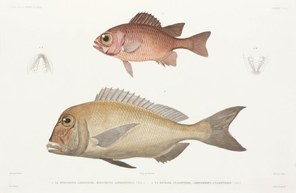 Panamic soldierfish and Black bream or Australian snapper, 1836-1839.