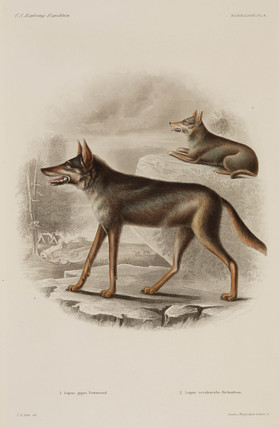 Two wolves, North America, 1838-1842.