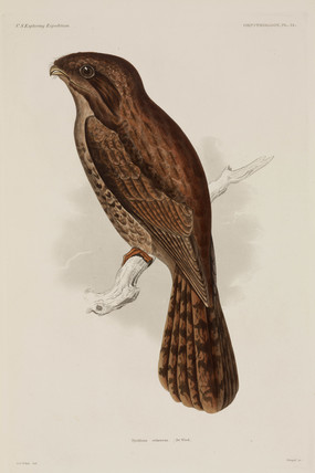 Long-tailed Potoo, South America, 1838-1842.