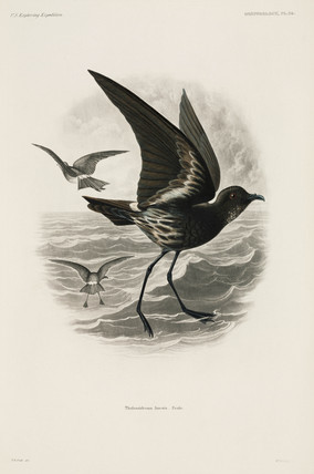 Petrel in flight, 1838-1842.
