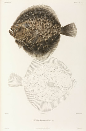 Black Sea turbot, 1837.