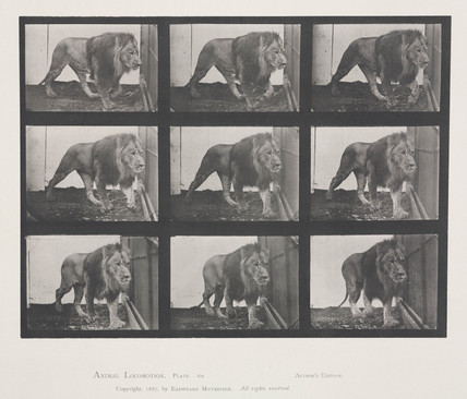 Time-lapse photographs of a lion pacing its cage, 1872-1885.