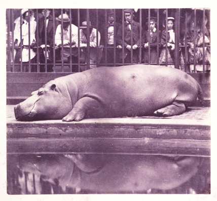 'The Hippopotamus at the Zoological Gardens, Regents Park', London, 1852.