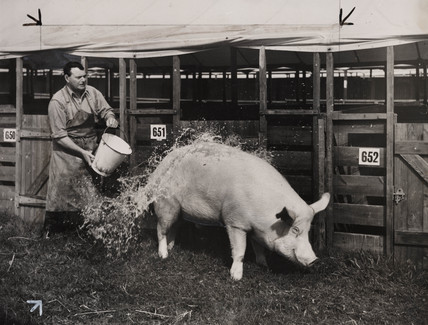 A pig being washed, 29 August 1948.