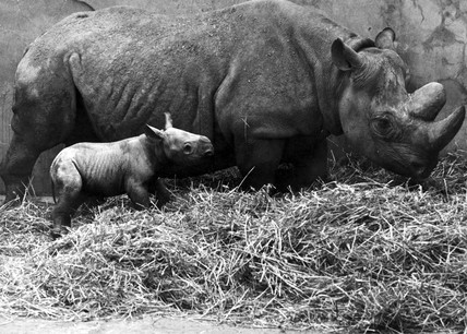 Baby black rhino and mother, Chester Zoo, February 1971.