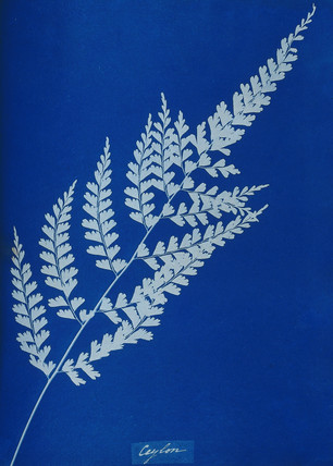Cyanotype of Ceylonese fern, 1853.
