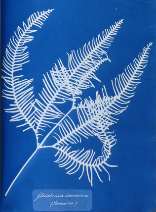 Cyanotype of a Jamaican fern, Gleichenia immensa, 1853.