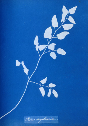 Cyanotype of Pteris sagittaria, 1853.