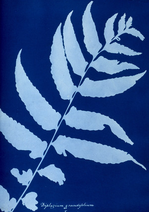 Cyanotype of Diplazium grandifolium, 1853.