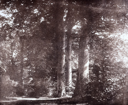 Beech trees at Lacock, c 1841.