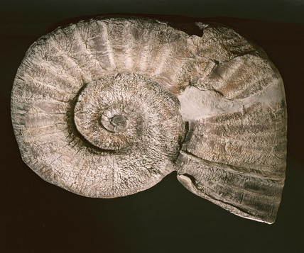 Giant ammonite fossil from New Zealand, 1995.