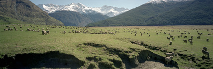 Sheep farming, Lower South Island, New Zealand, September 1998.