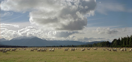 Sheep grazing, Lower South Island, New Zealand, April 1996.