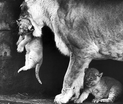 Lioness with cubs, September 1974.