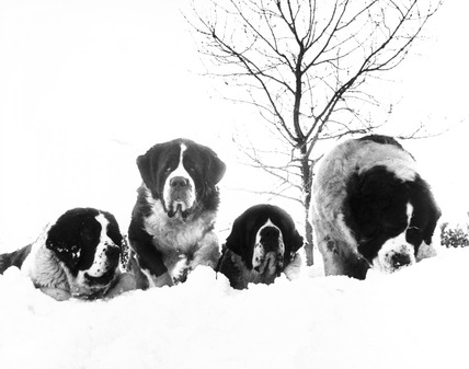 St Bernards in the snow, December 1986.