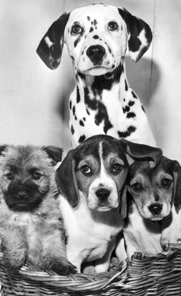 Puppies at RSPCA kennels, February 1969.