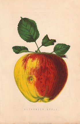 Ripe fruit and leaves of the Alexander apple, Malus domestica.