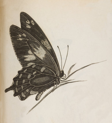 Close up Illustration of Eq.Troes.1 Papilio butterfly