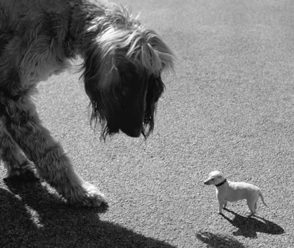 Afghan hound and tiny dog