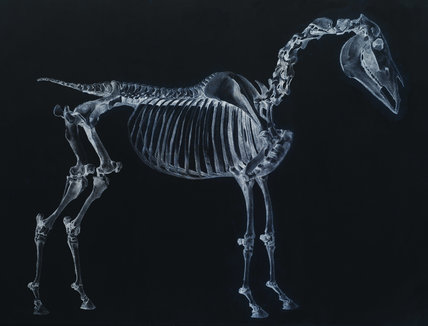 Tab I: Horse Skeleton, side view. Inverted image.