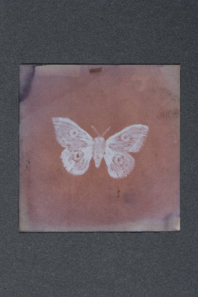 Photogenic drawing showing a species of moth., 1970s