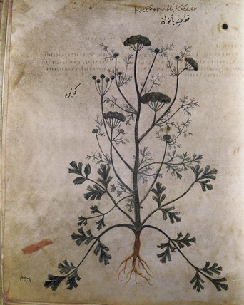 Coriander. An illustration from Dioscorides