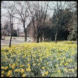 Dufaycolor view of the daffodils in Royal Victoria Park, May 1937